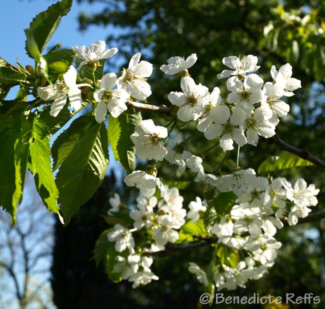 kirsebærtræerne i kbh
