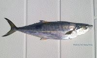 Broad-barred King Mackerel