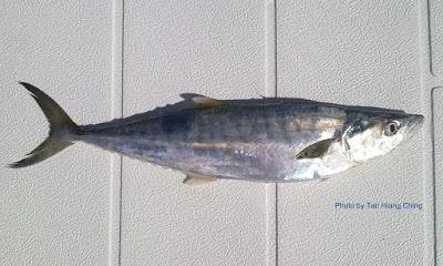 Broad-barred King Mackerel, Ikan Tenggiri Papan Kuning