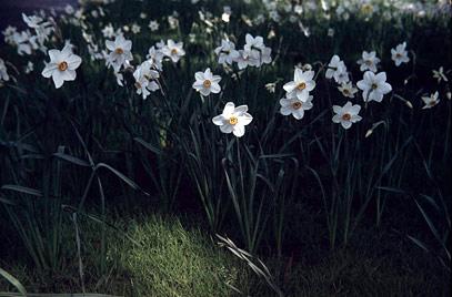 Narciso 'Actaea'