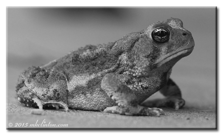 Toad on back porch a b & W photo