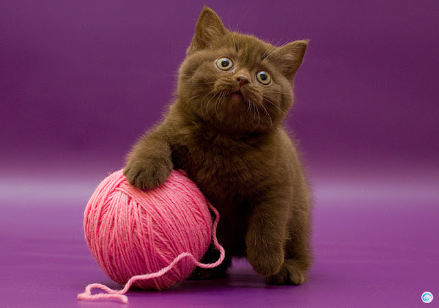 funny cats, cute cat pictures, kitten playing with wool ball