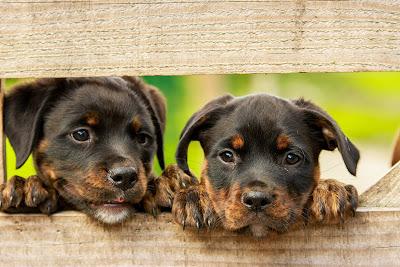 Panvet - psi i trudnoća