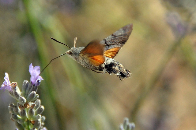 The Amazing Hummingbird Hawk Moth  The Ark In Space