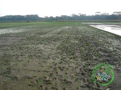 FOTO 4 : Tanaman Padi NAZWA Umur 0 HST di Sawah Rawa Cibandung