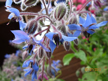Borage blooms...