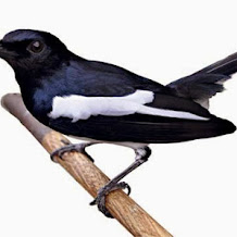 Mengenal dan Penanganan Karakter Dasar Calon Burung Kacer Juara