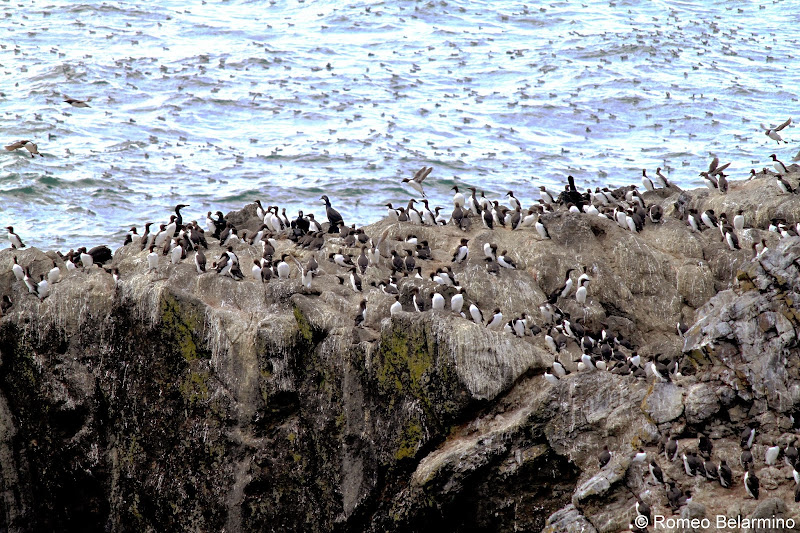 Common Murres Yaquina Head Outstanding Natural Area Oregon Coast