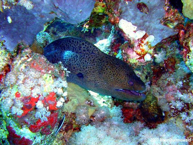 giant moray, northern red sea, scuba diving, tropical sea,