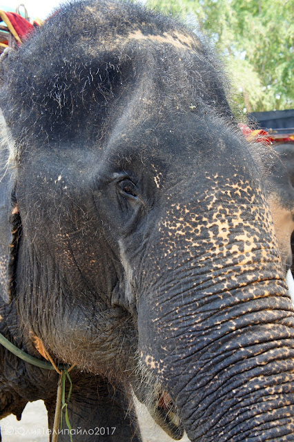 Слон Патайя