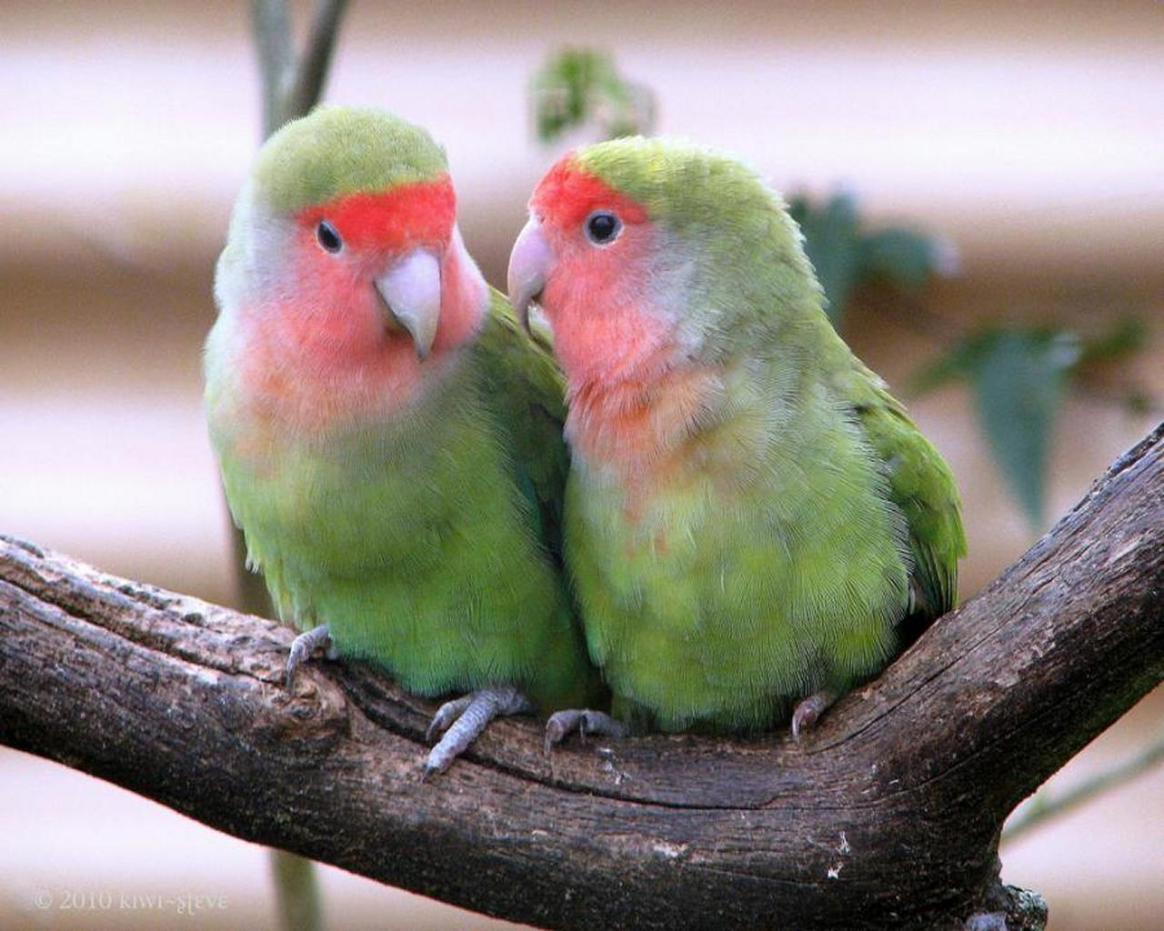 the lovebirds - photo #2