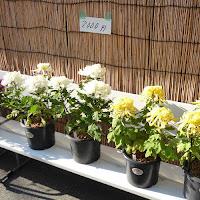 ひらかた菊花展 (枚方市役所周辺) 菊の販売 2000円