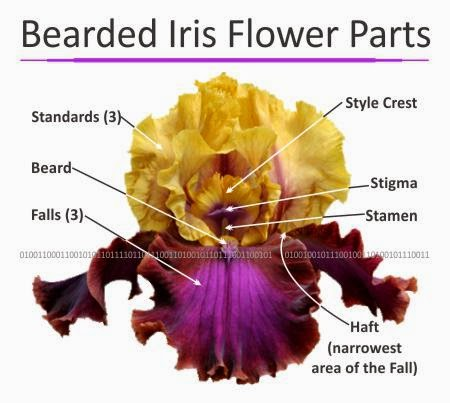 Ирис строение цветка фото