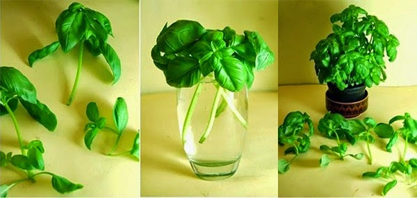 Húng quế Cách trồng rau sạch tại nhà