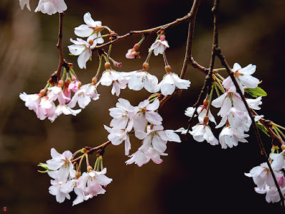 Yama-zakura (Prunus jamasakura) blossoms: Jochi-ji