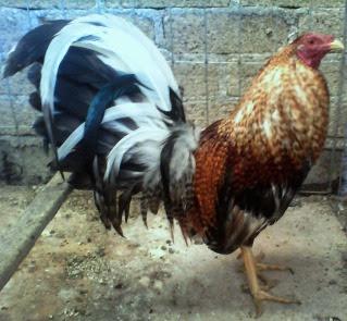 gallo de pelea bulico