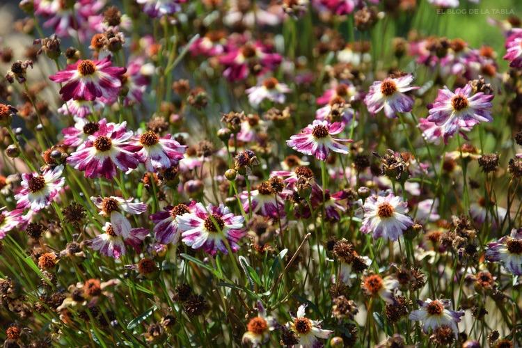 flores de coreopsis color blanco y magenta