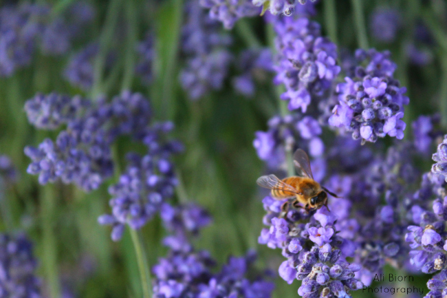 Fuzzy bumble bee on lavender flower stem