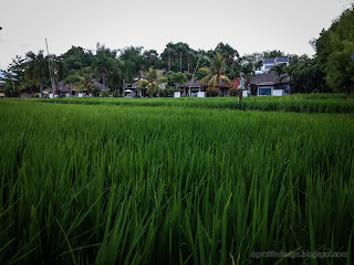 Beautiful Rice Fields View In Front Of Villas At Umeanyar Village, North Bali, Indonesia