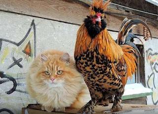 кот и петух-2