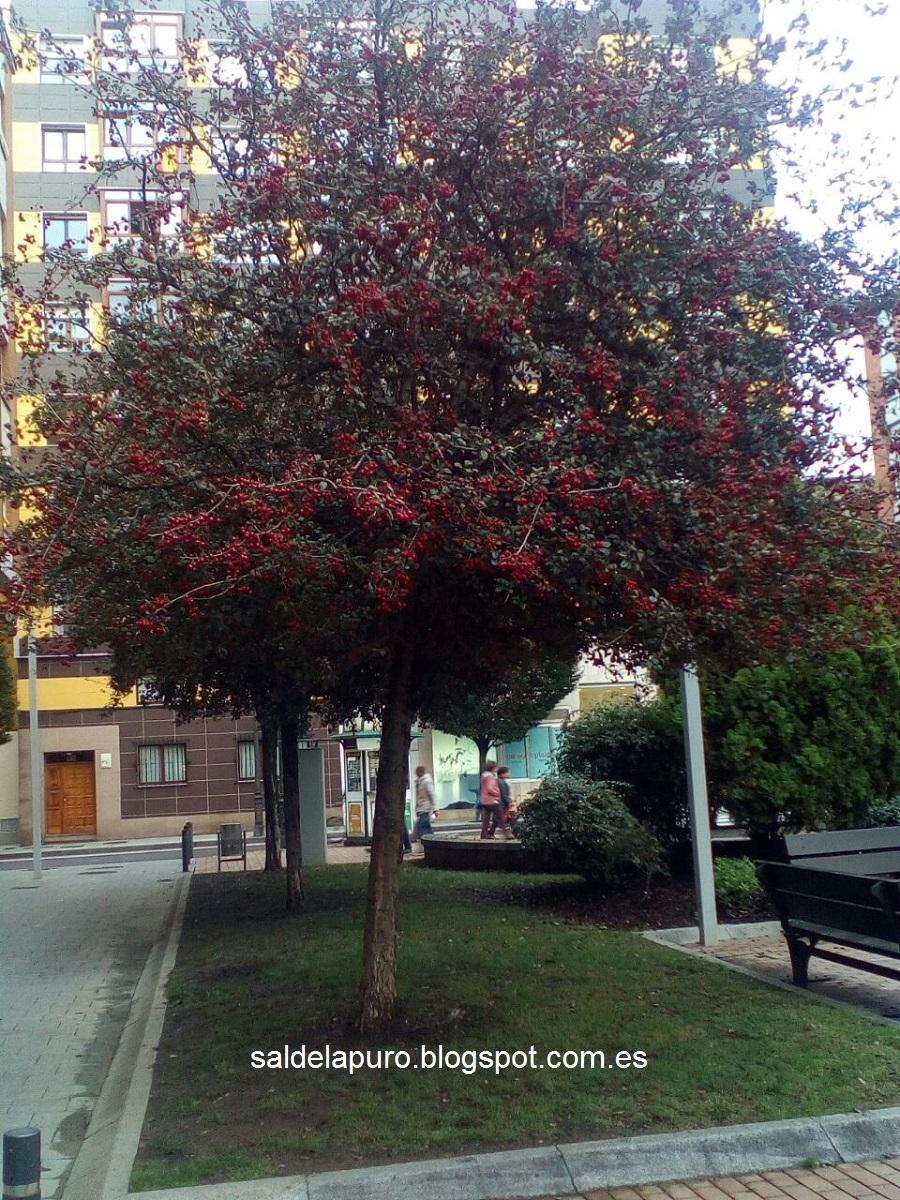 arbol-frutos-rojos-gijon-otoño