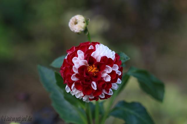 dahlia mme Frissard pompon rouge blanc
