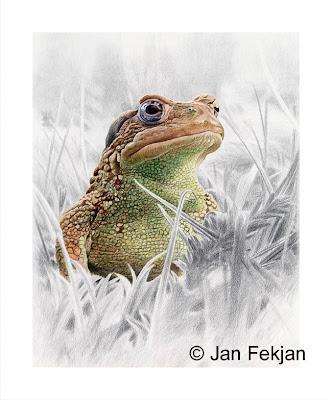 Bilde av digigrafiet 'Padde'. Digitalt trykk laget på bakgrunn av et maleri av en padde. En illustrasjon av padde, Bufo bufo. Padden sitter i gresset. Stilen kan beskrives som figurativ og realistisk. Bildet er i høydeformat.
