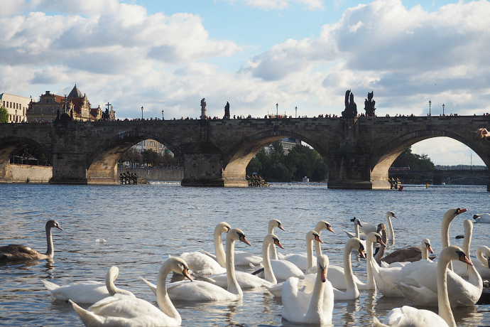 Swans and Charles Bridge Prague