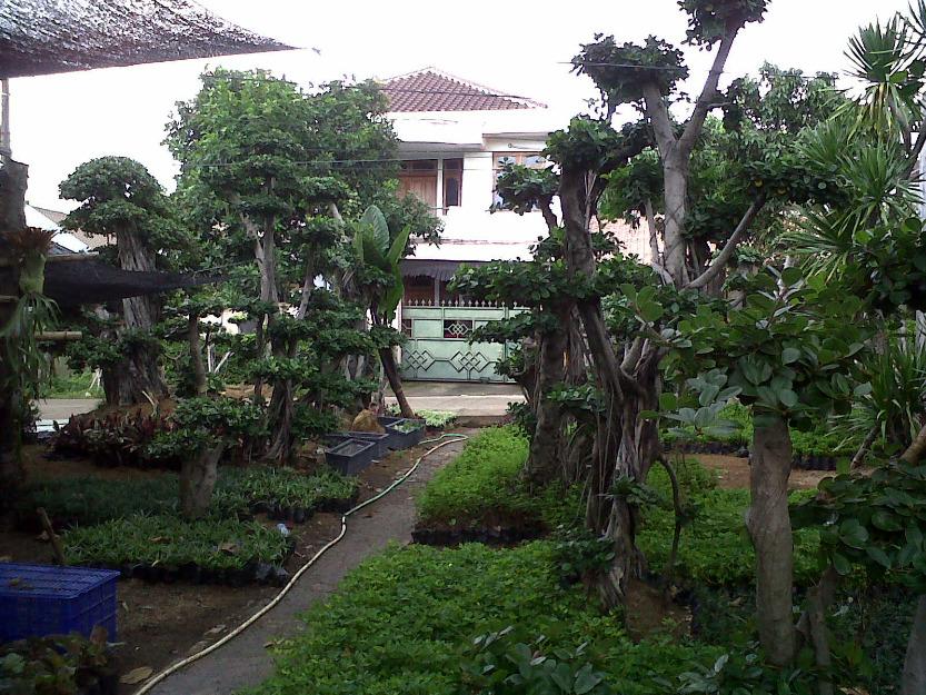 Beringin korea murah  tanaman bonsai  Tukang Taman