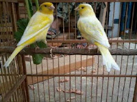 Cara Merawat Burung Kenari Untuk Pemula