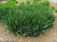 http://plantsgallery.blogspot.com/2014/02/camassia-leichtlinii-kamasja-leichtlina.html