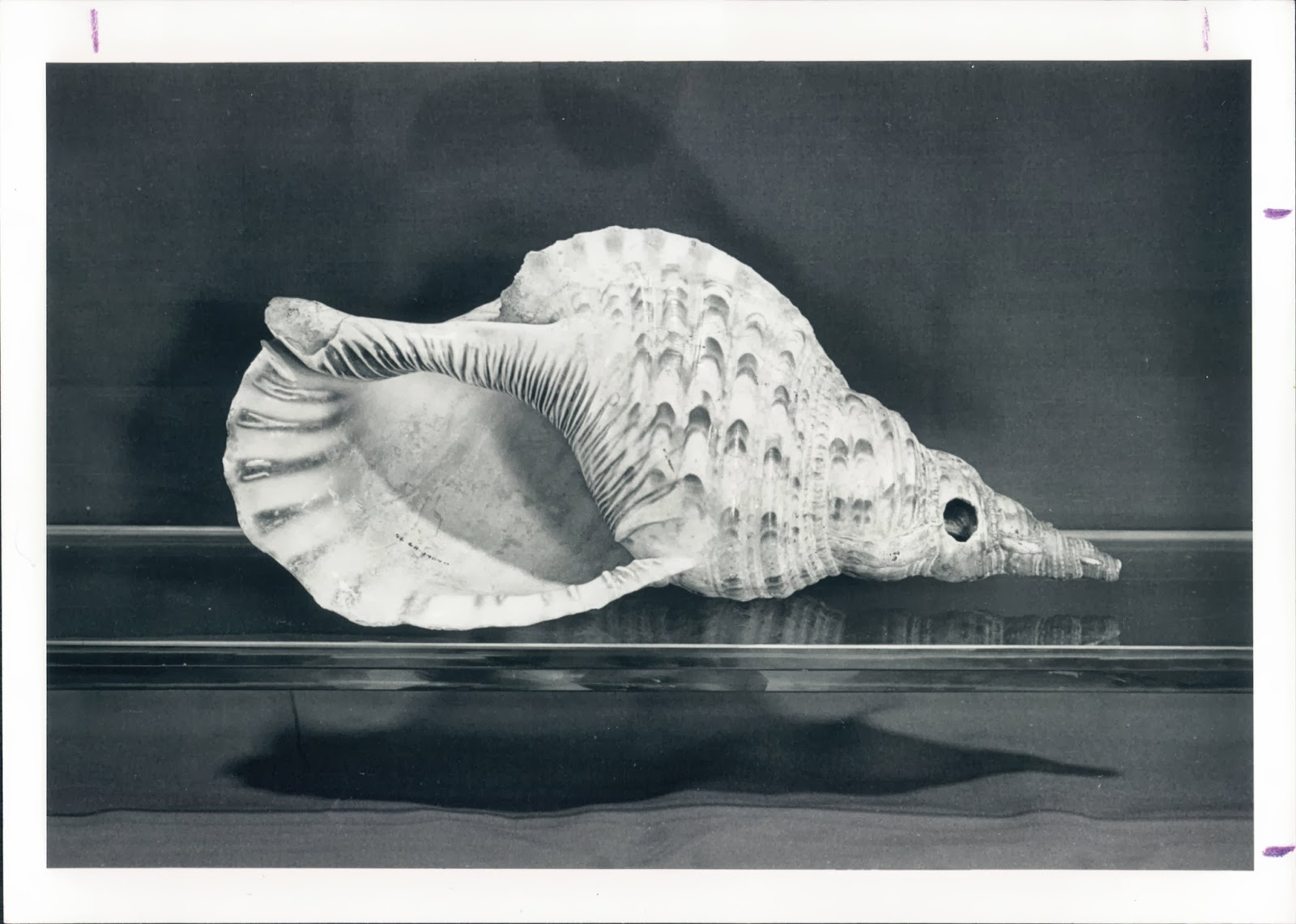 A black and white photograph of a conch shell.