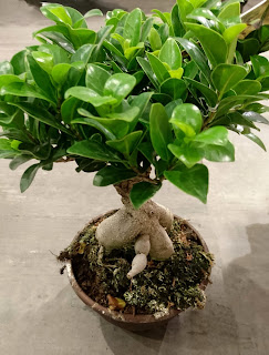 Ficus microcarpa 'Ginseng'