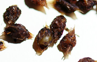 worm cocoon, cacing kakun, african nightcrawler cocoon, telur cacing, worm egg, organic, vermicompost, worm poop