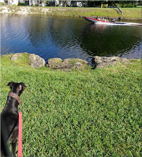 Dusty watches a boater on Stranahan River at Tamarac Veterans Park