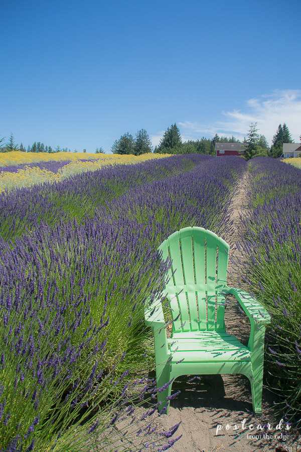 Purple Haze lavender field in Sequim, Washington