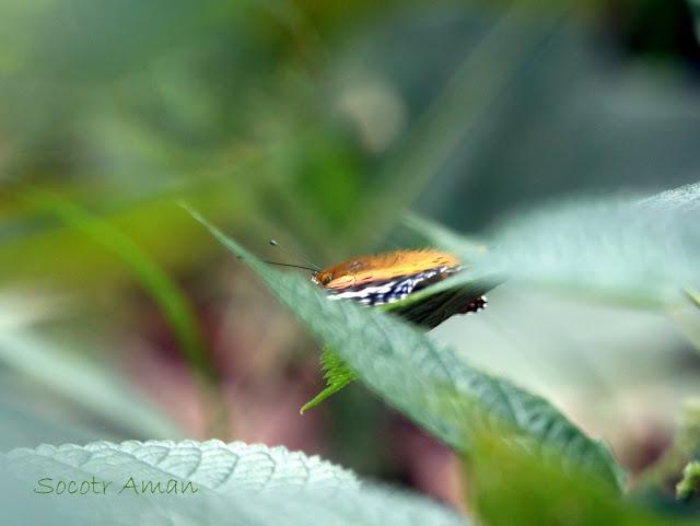 Argyreus hyperbius