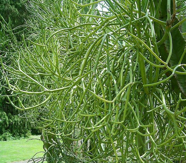 Cây Xương Khô - Euphorbia tirucalli - Nguyên liệu làm thuốc Chữa bệnh Mắt Tai Răng Họng