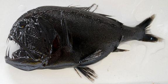 10 Hewan Dasar Laut Yang Paling Menyeramkan + Foto Penampakan Hewan Aneh di Dasar Laut