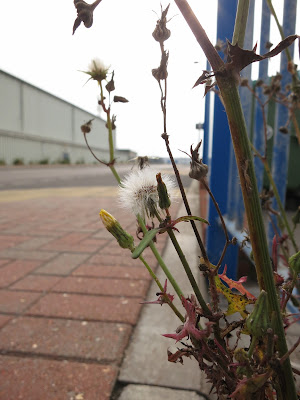 Wild plant growing by metal fence, Portland, Dorset.