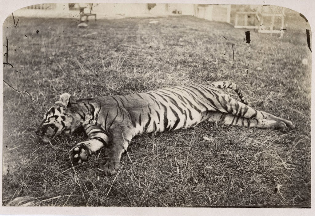 Dead Tiger - India c1880's