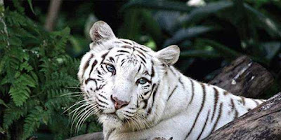 India's last captive white tiger 'Bajirao' dies