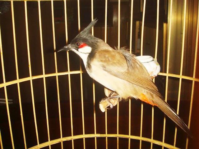 Những phương pháp phòng bệnh cho chim chào mào vào mùa đông