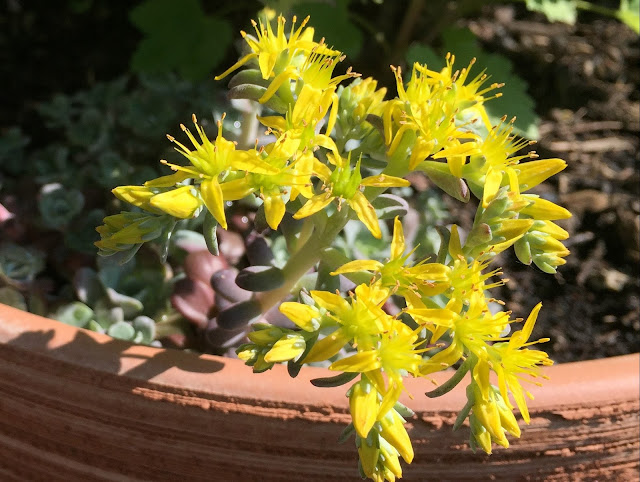 goldgelbe, sternförmige Blüten der Fetthenne