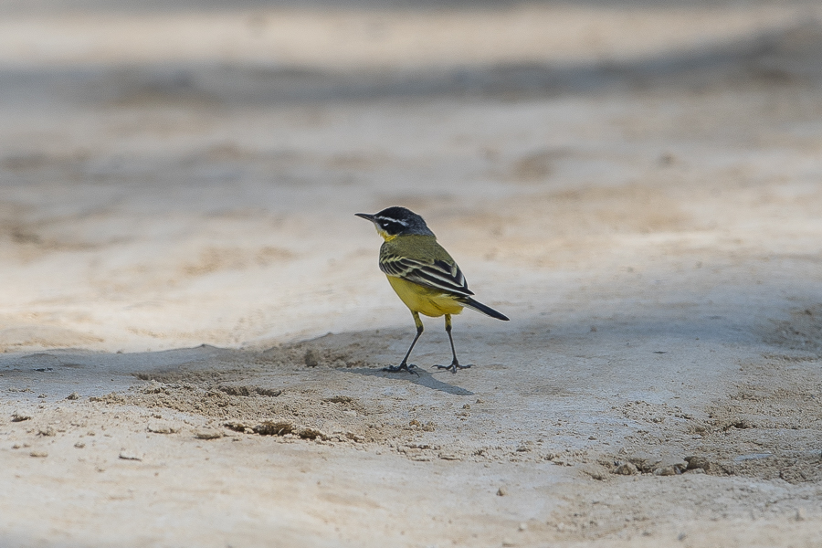 Yellow Wagtail - supercilliaris