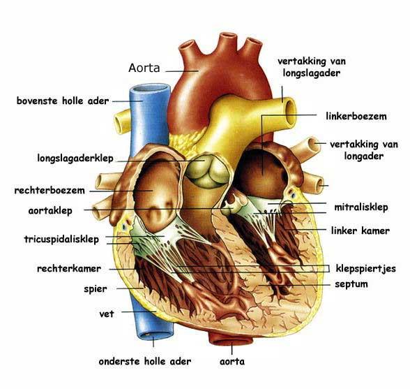 Wonderlijk Oefenlab thema 7. Gezond ouder worden.: Anatomie Hart OO-45