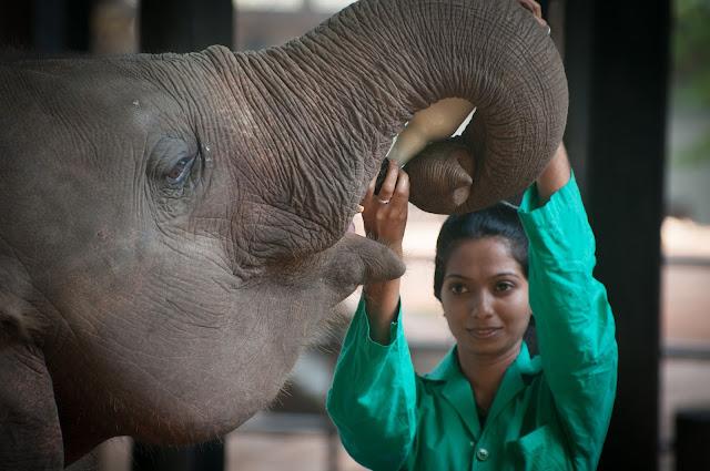Orfelinatul de elefanti Pinnawala, Sri Lanka