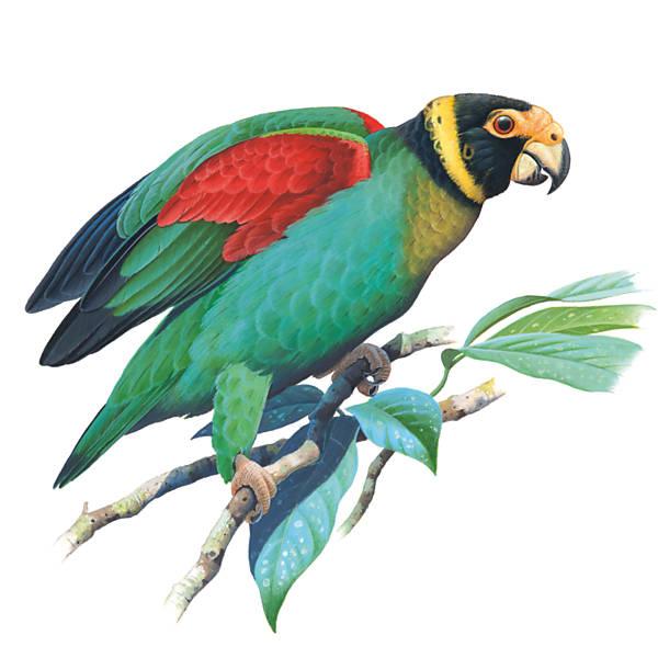 Curica-Urubu (Pionopsitta vulturina)