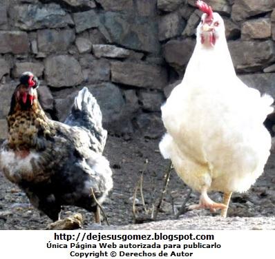 Imagen de gallinas de diferentes colores. Foto de gallinas de Jesus Gómez