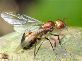 Pictures of fire ants with wings